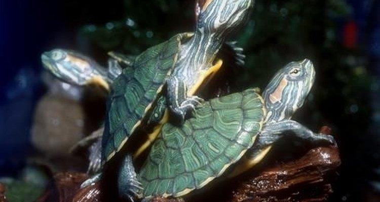 Estas tortugas crecen y viven mucho, asegúrate de darles un buen hogar.