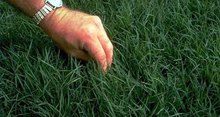 Um gramado de grama jiggs madura