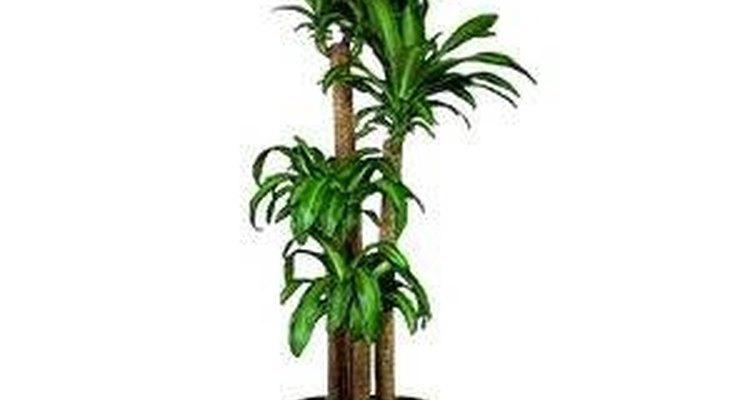 A dracena é uma planta interessante e pouco exigente
