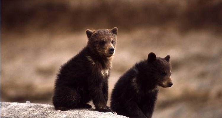 Gracias a la Ley de Especies en Peligro de Extinción, entre 1975 a 2005, el oso grizzly aumentó de 224 a más de 500 ejemplares en el área de Yellowstone.