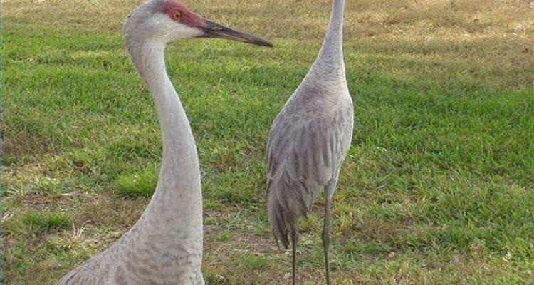 Protegida por la Ley de Especies en Peligro de Extinción, la grulla blanca aumentó de 54 a 513 aves entre 1967 y 2006.