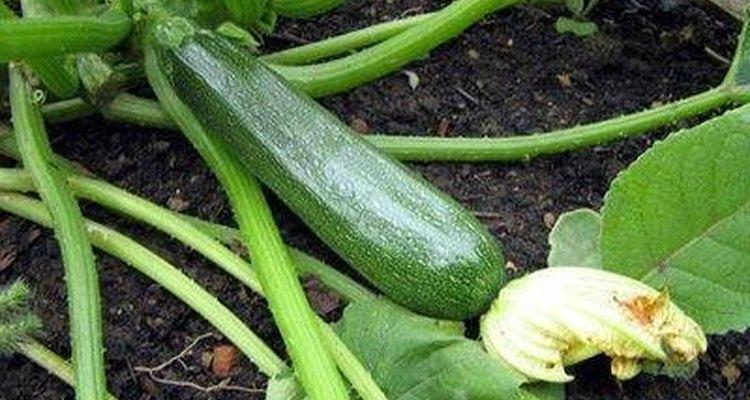 A abobrinha é um vegetal nutritivo de verão que cresce facilmente na maioria dos quintais