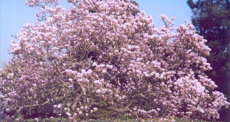 Las flores son el centro de atención de los árboles de magnolia.