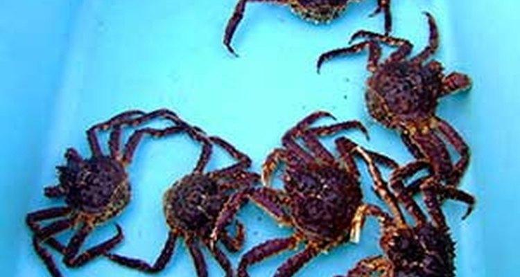 Devido ao frio extremo e à natureza combativa do caranguejo, eles não podem ser deixados no tanque por muitos dias