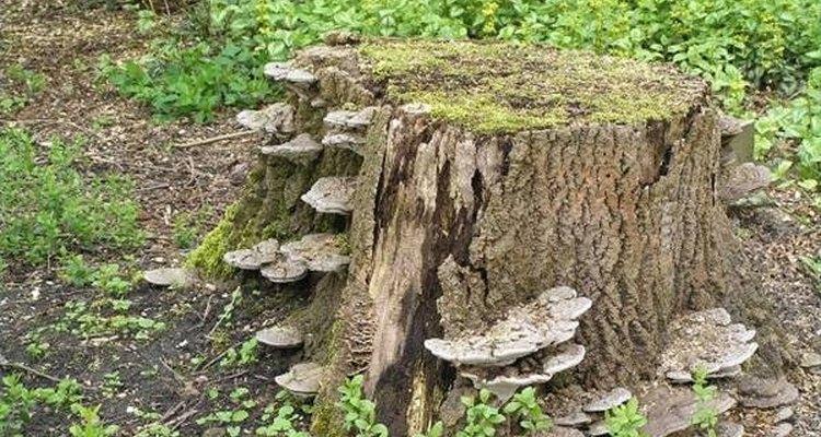 Velhos tocos de árvore podem abrigar fungos indesejáveis