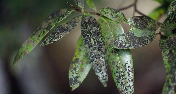 Uma planta com fumagina