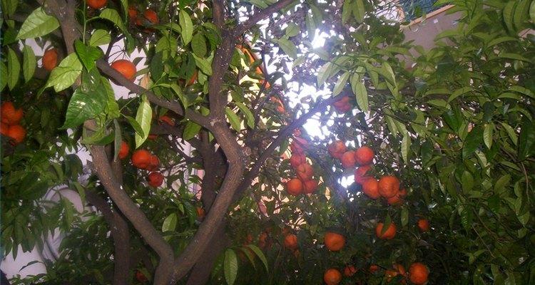 O que faz com que uma laranjeira não dê frutos?