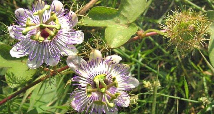 La familia de la passiflora es conocida botánicamente como Passifloraceae.
