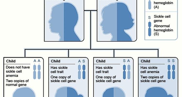 Características possíveis dos filhos de duas pessoas com apenas uma cópia do gene para anemia falciforme