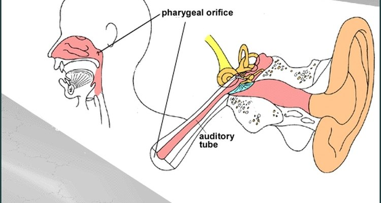 Diagram Of The Auditory Tube And Where It Empties Into The Nasal Cavity