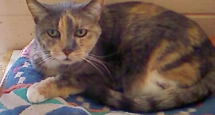 Gato con pelaje atigrado.