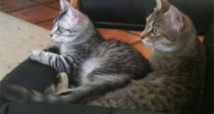 Gatos descansando.