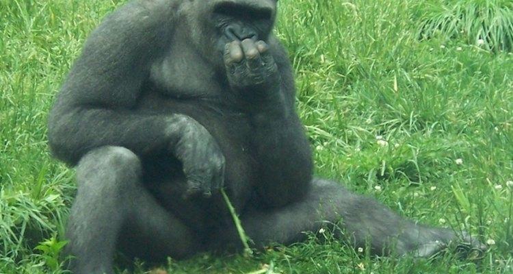 Algunos primates son capaces de utilizar las manos para transmitir información.