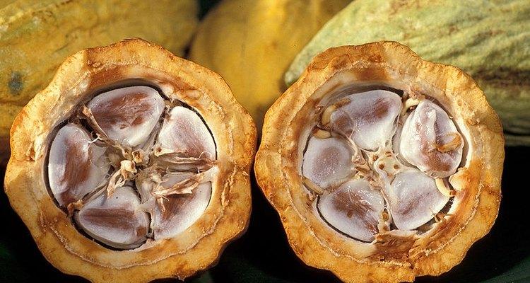 Las vainas de cocoa tienen entre 20 a 40 granos.