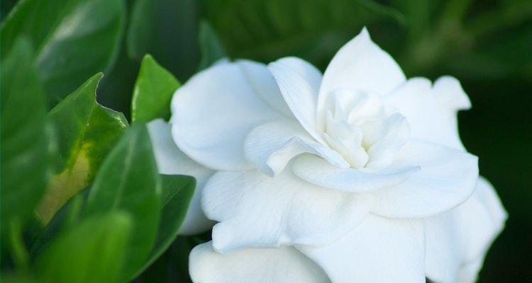 As gardênias podem florescer durante todo o ano em certos climas