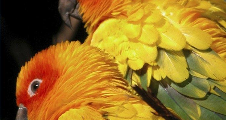 Infestações por piolhos de aves não se limitam aos proprietários delas