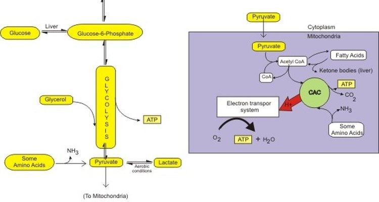 O NADH e o FADH2 agem como carregadores de elétrons
