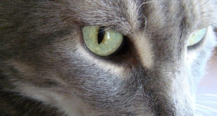 Quita el olor de la orina del gato de los pisos de madera con ingredientes de limpieza poco costosos.