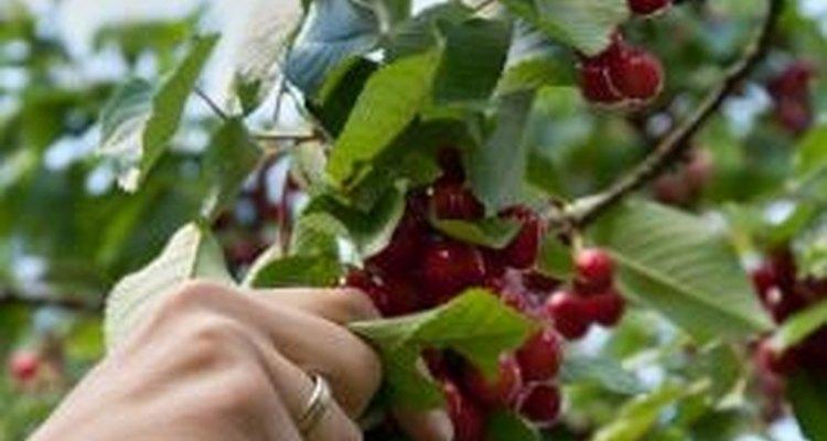 Los cerezos son muy fáciles de cuidar.