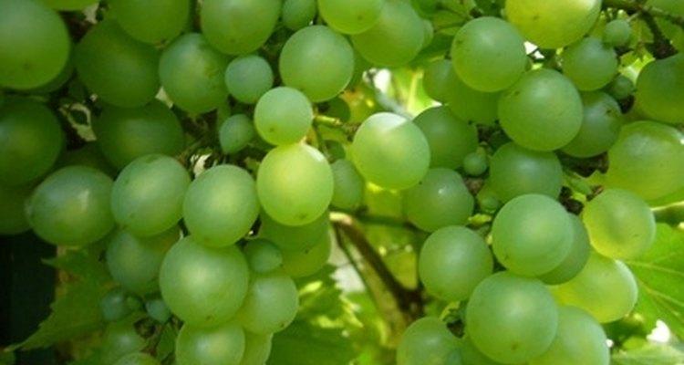 Las uvas se pueden prensar con facilidad para quitar el jugo o la pulpa, y estos se pueden usar para vinos, jugos, jaleas y dulces.