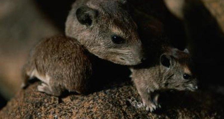 Las ratas son cuidadosas e inteligentes, haciéndolas difíciles de atrapar.
