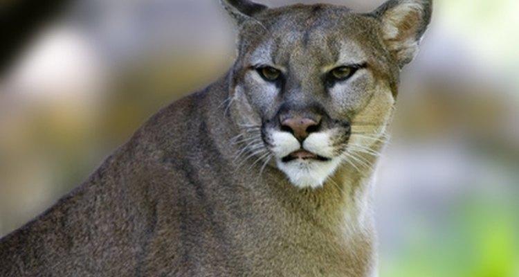 Cougar finder