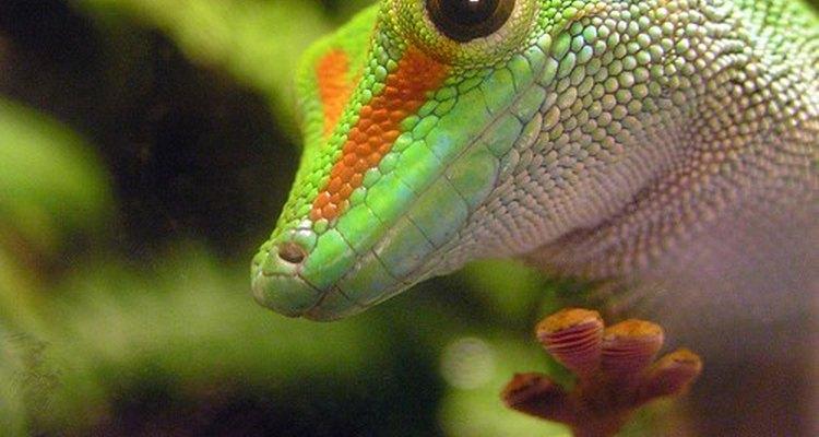 As lagartixas, como a maioria dos répteis, pode portar a salmonela