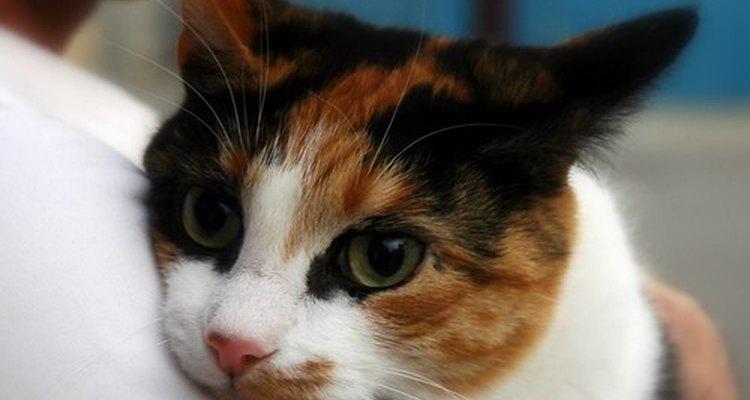 Um gato estressado pode sofrer com queda de pelos
