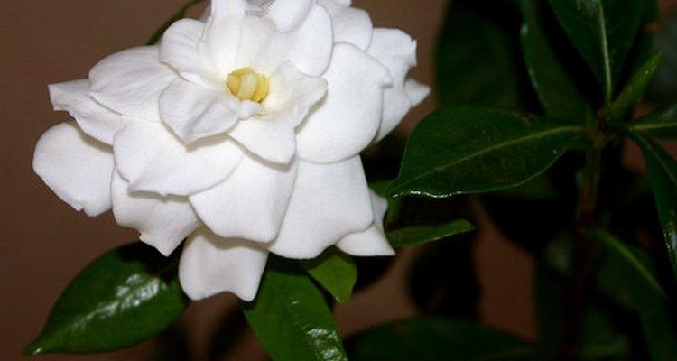 Las gardenias pueden requerir sol pleno o media sombra.