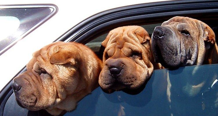 Los perros castrados no producen testosterona.
