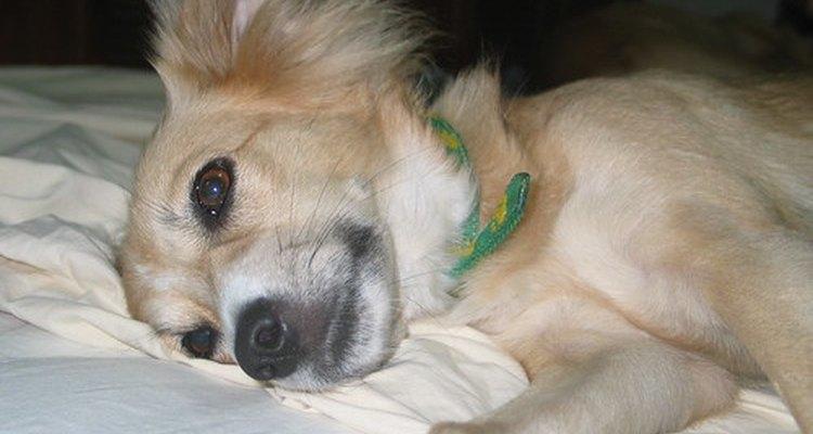 Cães febrils, fracos e apáticos devem passar por um hemograma completo