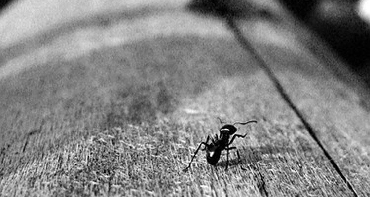 Hormiga negra.
