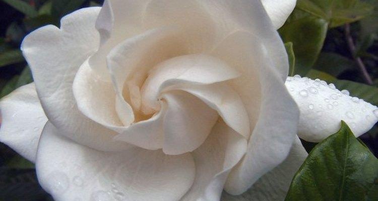 Las gardenias son una adición fragante para tu jardín.