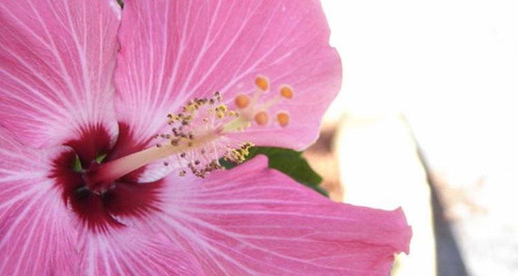 La rosada rosa de saron.