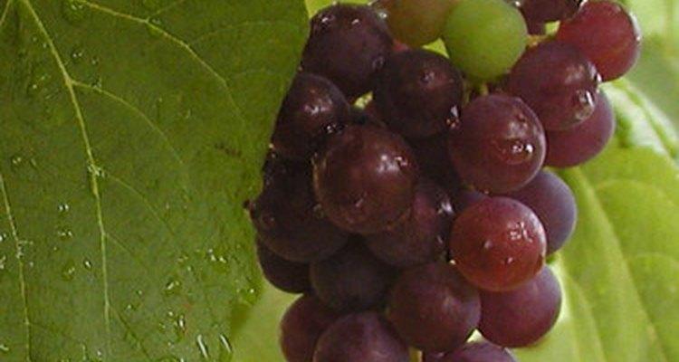 El ciclo de vida de las uvas comienza después de que hayas cosechado la fruta.