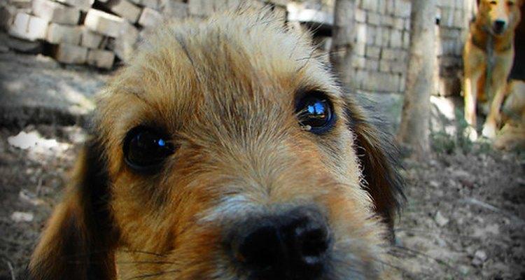 Existem vários sinais que podem indicar que a retina no olho do cachorro está deslocada