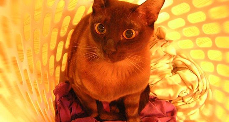 Os gatos birmaneses podem herdar problemas de níveis de potássio