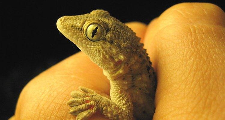 O manuseio de uma lagartixa de estimação pode resultar na disseminação da salmonela nas mãos de uma pessoa