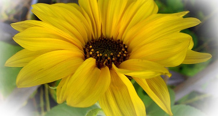Flor de árnica.
