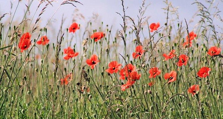 Un cultivo de amapolas rojas.