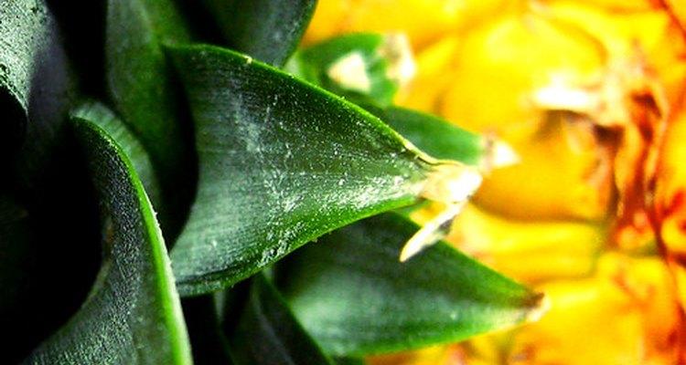 O abacaxi é rico em uma enzima natural que ajuda a curar a tendinite