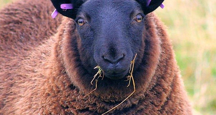 Lanolina é o óleo natural da lã de ovelhas