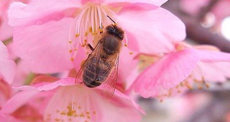Polinização de uma flor de cerejeira