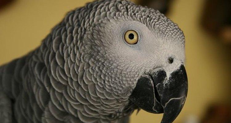 Los loros grises africanos son  especialmente suceptibles al estrés relacionado con el desplume.