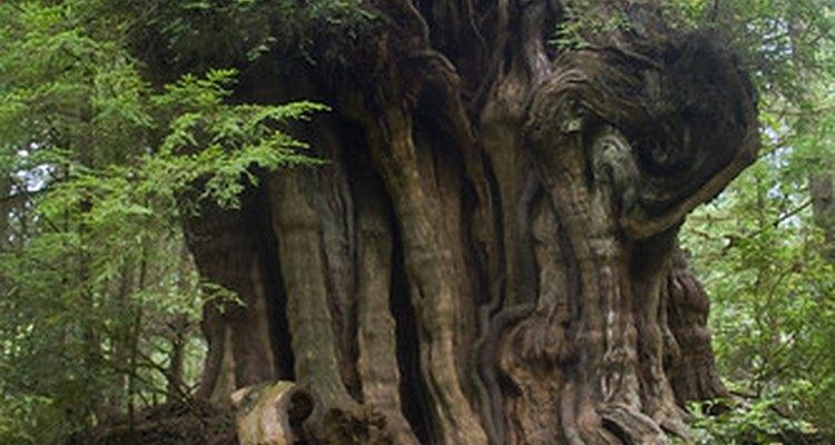 Árvore de cedro antiga