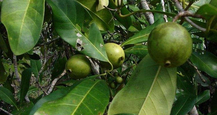 Árbol de aguacate con fruta.