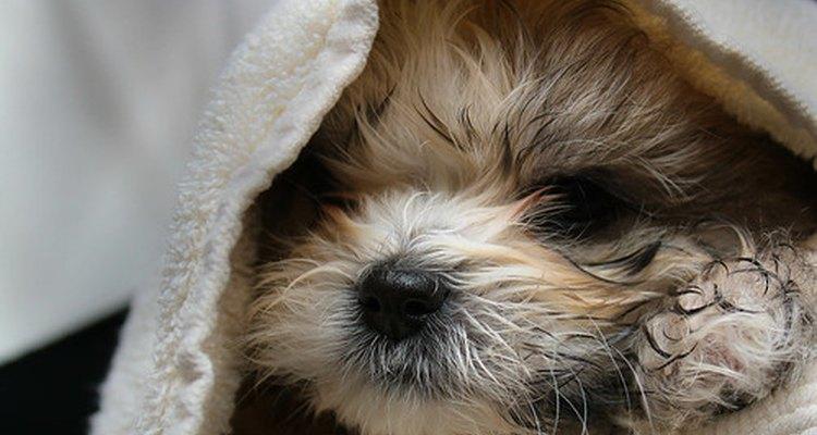 Cachorro Shih Tzu,