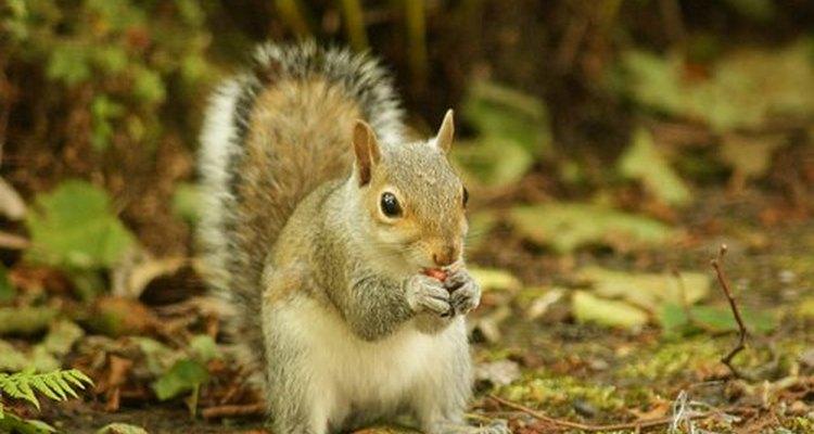 Eastern grey squirrel.