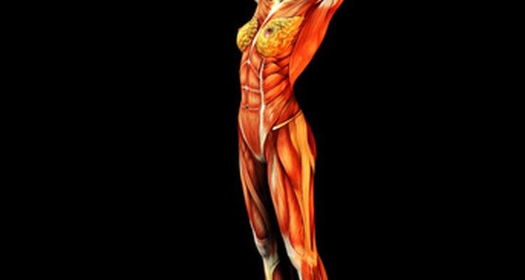 O músculo sartório é um músculo longo, preso à parte inferior do quadril externo