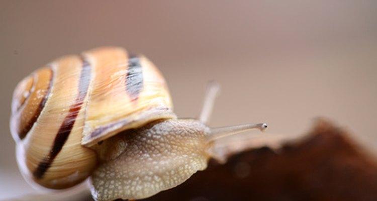 Los caracoles controlan las algas en tu acuario de betas.